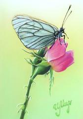 Butterfly (irishishka) Tags: painting art artirishishka realism animals insects butterfly figurative drawing pastels pastelpainting drypastel