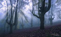 Amanecer entre nieblas (Marijose Urroz) Tags: tree treetrunk autumn moody forest light sunlight nature naturephotography
