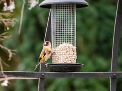 Distelfink (oonaolivia) Tags: distelfink stieglitz goldfinch bird vögel birdwatching switzerland
