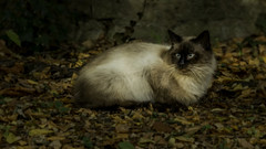 Ta beau yeux. (musette thierry) Tags: chat animaux animalier domestique musette thierry d800 cat