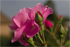 IMG00766M (Lorenzo Fontanella) Tags: sd sigma sd10 1770 contemporary rose