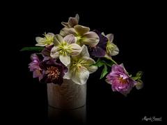 Bouquet (Magda Banach) Tags: hellebore sonyfe90mmf28macrogoss sonyilce7rm3 blackbackground bouquet colors flora flower green macro nature plants reflections