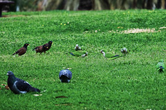 Pigeons, Mynas and Parakeets 1 (benrokh) Tags: m50 stm canonm50 eosm50 55250 55250stm is