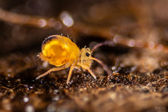 Springtail (Shane Jones) Tags: springtail collembola nature wildlife nikon d7200 tamron180mmmacro nikonbellows macro macrolife macrophotosnolimits macrolicious