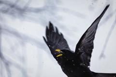 birds I (gabriela vetsch) Tags: alpine chough alpinechough winter snow black yellow beak mountains switzerland berneroberland canon6d canon100400usmi alpendohle schnee schwarz gelb berge alpen schweiz pyrrhocoraxgraculus