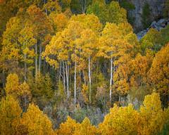 Sierra Gold (Bob Bowman Photography) Tags: sierra sierranevada highsierra aspen color gold yellow orange green trees easternsierra california fall autumn nikon