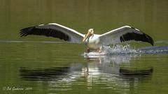 American White Pelican (Bob Gunderson) Tags: aerialwaterbirds americanwhitepelican birds california contracostacounty contralomaregionalpark eastbay northerncalifornia pelecanuserythorbynchos pelicans
