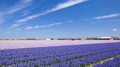 Flower Field,Lisse,Netherlands,Benelux (nnq1011) Tags: benelux destination europe field flower garden keukenhof lisse netherlands plant tourism travel tulip vacation