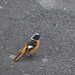 Daurian redstart male (Phoenicurus auroreus, ジョウビタキ)