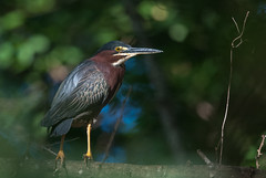Héron vert/Green Heron -_MP83430 (michel paquin2011) Tags: rouge héron vert échassier manzanillo cuba