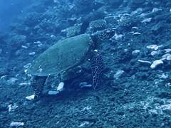 Polynésie 2019 - Tahiti diving (Valerie Hukalo) Tags: tortue turtle valériehukalo hukalo france polynésiefrançaise polynésie frenchpolynesia polynesia océanie oceania océanpacifique pacificocean diving plongéesousmarine plongée underwaterphotography photographiesousmarine tahiti archipeldelasociété