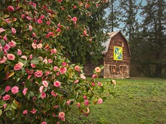 Barn at Browns Ferry Park 0086 B (jim.choate59) Tags: jchoate on1pics barn brownsferrypark tualatinoregon park scenic rural flowers bush spring springtime blossoms camellia