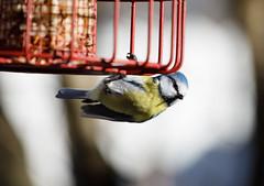 Blue tit (Antti Tassberg) Tags: sinitiainen lintu bokeh espoo suomi kevät bird bluetit caeruleus cyanistes finland scandinavia spring