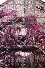 Garfield Park Conservatory on Lomochrome Purple (Quinn Milton Photography) Tags: 35mm film 35mmfilm filmisnotdead filmphotography lomochrome lomography lomochromepurple lomo infrared nature plants pink abstract shootfilm istillshootfilm believeinfilm