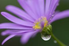 Kerneven (criplou19) Tags: fleurs eau pluie gouttes goutteseau nature macro