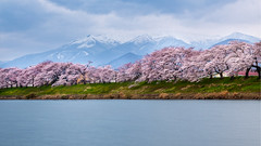 Backed by snow-capped mountains (Tom Hanawa) Tags: cherryblossoms snowcapped