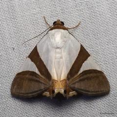 Noctuid Moth, Eulepidotis dominicata or electa? (Ecuador Megadiverso) Tags: andreaskay ecuador erebidae eulepidotisdominicata eulepidotiselecta fakeeyes falseeyes moth noctuidae wildsumaco