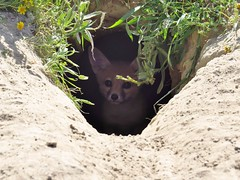 baby sj kit fox in burrow-Carrizo plain NM (gskipperii) Tags: carrizoplain maricopa nationalmonument animal wildlife nature centralvalley grasslands californianature outdoors pretty