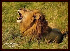 KING OF THE JUNGLE (Panthera leo)....MASAI MARA......SEPT,2018 (M Z Malik) Tags: nikon d3x 200400mm14afs kenya africa safari masaimara keekoroklodge exoticafricanwildlife exoticafricancats flickrbigcats lionking leo