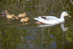 Duck family (Tony Worrall) Tags: baby cute birds bird duck duckling wild outdoors canal wer water wildlife preston lancs lancashire city welovethenorth nw northwest north update place location uk england visit area attraction open stream tour country item greatbritain britain english british gb capture buy stock sell sale outside caught photo shoot shot picture captured ilobsterit instragram photosofpreston ashtononribble ashton