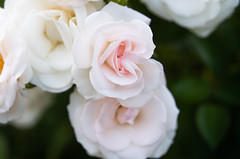 Roses (Tashata) Tags: macro nature flowers roses white pink green light dark colors closeup plant pentax petals pentaxk01 smcpentaxdfamacro100mmf28wr