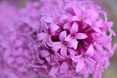 Lilac / Сирень (VikTori_kvl23) Tags: сирень syringa bloom flowers flower nature beauty closeup macro bright russia pink лето природа растения флора цветы lilac