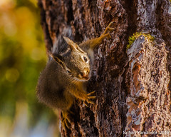 Surprise! (yamanoor) Tags: nature biology zoology mammals rodents squirrels chipmunks trees arboreal photography closeup canon t2i manzanita lake loop lassen volcanic national park public lands conservation preservation ecology environment animals bokeh