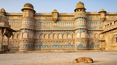 The Fortress and its guardian (voxpepoli) Tags: dog fortress india gwalior cane fortezza incredibleindia streetlife streetphotography