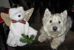 "12/12B ~ ""Riley & his Christmas Angel!"" (ellenc995) Tags: riley westie westhighlandwhiteterrier 12monthsfordogs18 angel happybirthday christmas love thesunshinegroup coth alittlebeauty coth5 challengeclub toycollectors fantasticnature thegalaxy 100commentgroup"