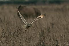 Short Eared Owl-2667 (WendyCoops224) Tags: 100400mml 80d fens winterwatch canon eos ©wendycooper short eared owl asio flammeus