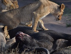 Tenderizing the Meat (Everyday Glory!!!) Tags: masaimara africa kenya safari gamedrive mara wildlife wild favorite maasaimara maasai africanbuffalo buffalo capebuffalo