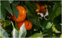 Fruit d'hiver (cgautriaud) Tags: orange fruit arbre tree occitanie hérault herault languedoc reflex ricoh pentax