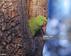 Ring-necked Parakeet (Gary Chalker, Thanks for over 4,000,000. views) Tags: ringneckedparakeet parakeet parrot bird pentax pentaxk3ii k3ii pentaxfa600mmf4edif fa600mmf4edif fa600mm 600mm