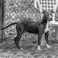 Edward18Jan201933-Edit.jpg (fredstrobel) Tags: dogs pawsatanta phototype atlanta blackandwhite usa animals ga pets places pawsdogs decatur georgia unitedstatesofamerica us