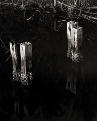 Barnacles (Eddie La Mole) Tags: piñones lagoon pier mangrove piñonesstateforest nature barnacles reflection blackandwhite monochrome 4x5 largeformat shanghaigp3 kodakd76145mins intrepid4x5 film