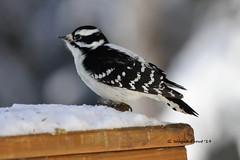 Downy Woodpecker (Picoides pubescens)(Female) (Gerald (Wayne) Prout) Tags: downywoodpecker picoidespubescens animalia chordata aves piciformes picidae picoides pubescens downy woodpecker bird birds animal animals fauna wildlife nature female herseylakeconservationarea cityoftimmins northeasternontario northernontario ontario canada prout geraldwayneprout canon canoneos60d eos 60d digital dslr camera canonlensef70300mmf456isusm lens ef70300mmf456isusm photographed photography herseylake conservation area city timmins northeastern northern