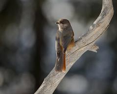 Siberian Jay (Markp33) Tags: