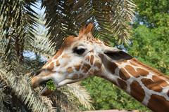 Reticulated Giraffe (Giraffa camelopardalis reticulata) (Seventh Heaven Photography) Tags: reticulated giraffe giraffa camelopardalis reticulata giraffacamelopardalisreticulata animal mammal emirates park zoo uae united arab abu dhabi nikond3200