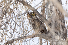 December 10, 2019 - Great horned owl keeping watch in Thornton. (Tony's Takes)