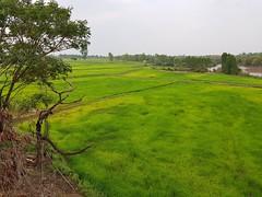 Rice paddies in Amphoe Mueang Nong Khai near Huai Suai (SierraSunrise) Tags: agriculture esarn farming isaan nongkhai paddyrice ricepaddies ricepaddy thailand