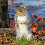 Gray Squirrel thumbnail