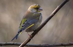 Greenfinch (Steve D'Cruze) Tags: greenfinch chloris nikon d500 sigma 150600mm