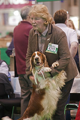 Diary_2016_037 (evinrisca) Tags: crufts welsh springer spaniel dogshow wsscsw