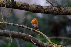 Little red in winter (1/2) : dark green background (Franck Zumella) Tags: bird oiseau animal feather plume nature red robin breast redbreast rouge gorge rougegorge small petit ball balle funny fun sony a7s a7 tamron 150600 forest foret branch branche thinking think penser wildlife