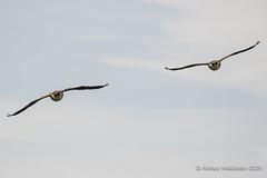 Canada Geese (Ashley Middleton Photography) Tags: inglesham riverthames animal bird canadagoose england europe goosegeese river unitedkingdom wiltshire