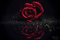 IMG_0620-1 (Matwith1Tphotography) Tags: matwith1t canon eos70d 70d 100mm red rose waterdrops reflection