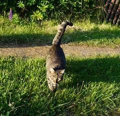 Котик (lvv1937) Tags: кот дача трава лето