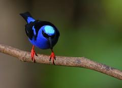 Red-legged Honeycreeper - male (anacm.silva) Tags: redleggedhoneycreeper honeycreeper ave bird wild wildlife nature natureza naturaleza birds aves bogarintrail lafortuna arenal costarica cyanerpescyaneus