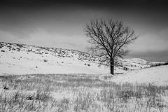 Prairie Winter and a Lone Cottonwood Tree (Kent Copeland) Tags: tree cottonwood prairie snow bnw blackandwhite winter contrast colorado