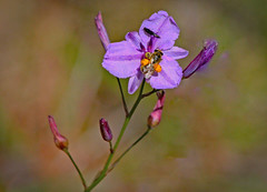 The visitors! (Uhlenhorst) Tags: 2013 australia australien plants pflanzen flowers blumen blossoms blüten animals tiere travel reisen ngc npc